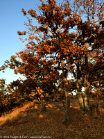 Garry Oak leaves turning brown in mid-August due to dry summer conditions