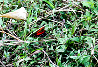 Red butterfly in the grass