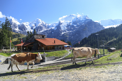 Contented Swiss cows at Winteregg on the trail between Mürren and Grutschalp