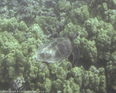 Turtle in Olowalu Bay