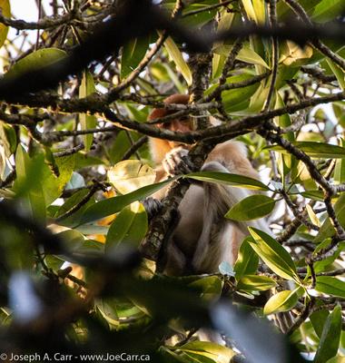 Proboscis monkey in a tree on the Brunei River