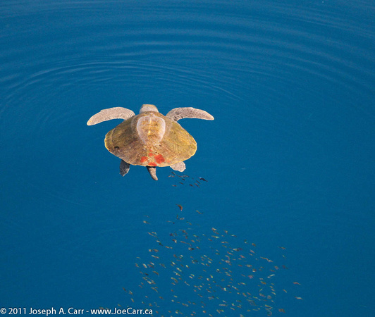 Sea turtle with fish trailing it