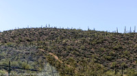 Lots of cactus on the hillside