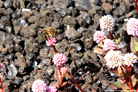 Bee on succulents growing in the cinder on Devastation Trail