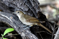Brown bird in underbrush