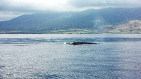Humpback whales - mother, baby & escort