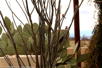 Cactus Wrens on the branches of an Ocotillo