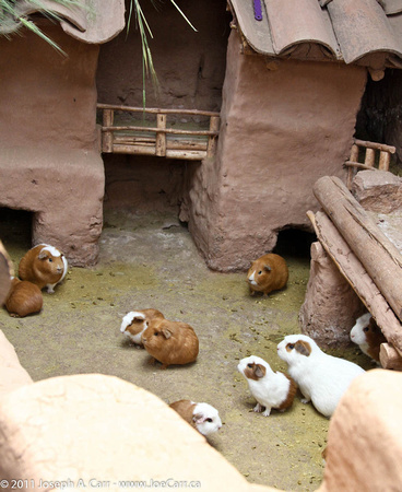 Guinea Pigs as Food Peru http://photos.joetourist.ca/sacredvalley/h2BA5DE7D