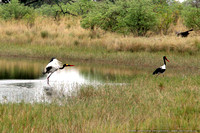 Saddle-billed Storks in the spillway