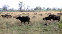 A herd of Buffalo