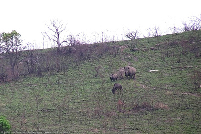 JoeTourist: KwaZulu-Natal Province &emdash; Black Rhinoceros grazing on the hillside