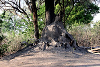 Giant ant hill at base of a tree