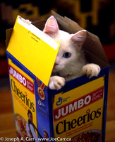 Sylvester popping out of a cereal box