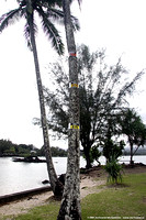 Coconut Island tsunami levels marked on coconut tree