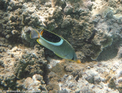 Multi-coloured striped fish and coral at Blue Lagoon Resort, Fiji