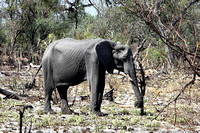 Emaciated female Elephant