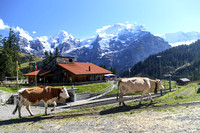 Contented Swiss cows heading for the alpine meadow