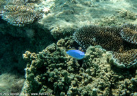 Blue fish and coral