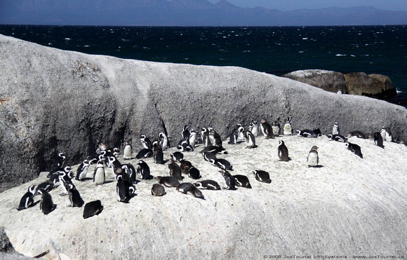 African Penguins at the Boulders Penguin Colony