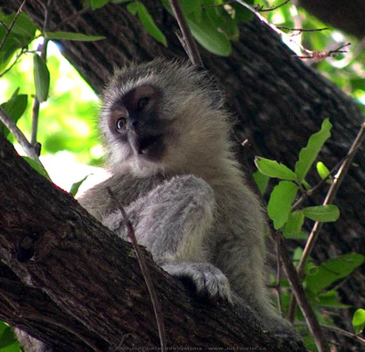 JoeTourist: Xigera Camp &emdash; Resident black-faced monkey in the trees above our tents