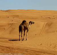 An untethered camel on the sand dunes