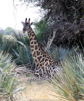 JoeTourist: Xigera Camp &emdash; Resting Giraffe